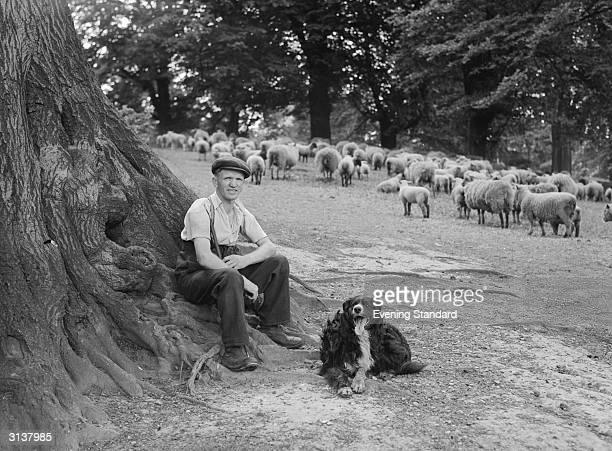 Shepherd and his dog with a flock of sheep on Hampstead Heath in north London.