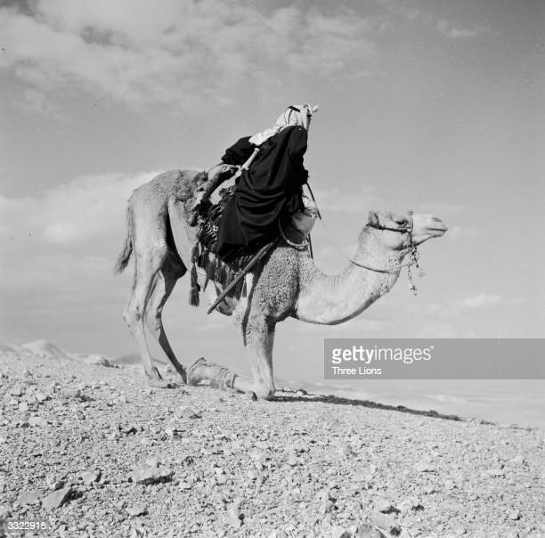 A Bedouin in the process of dismounting a Camel which has knelt on its forelegs and is ready to buckle its hind legs