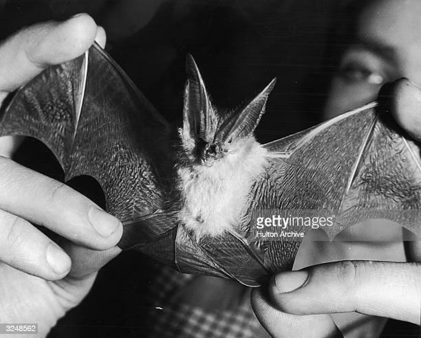 A California leaf nose bat with a twelve inch wing span