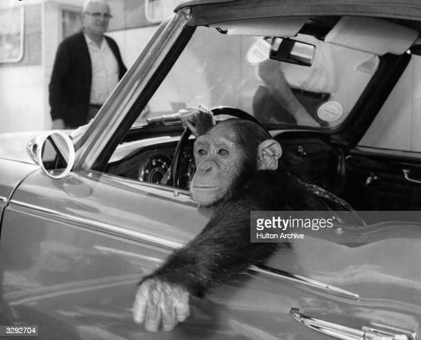 A chimpanzee called CheeChee at the wheel