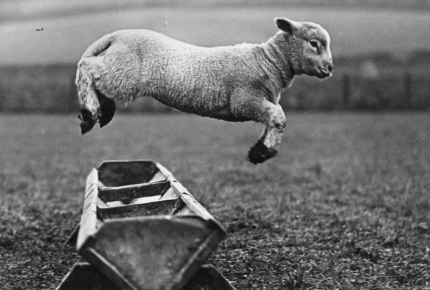 A lamb jumping over a trough.