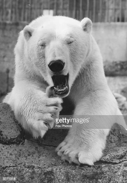 Polar bear in a zoo enclosure.
