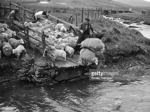 Shepherd forcing his flock of sheep in to a river to remove grease from their coats.