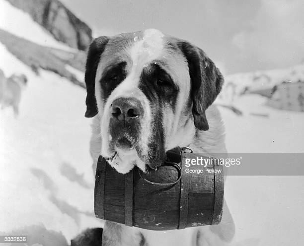 A St Bernard with a large cask of brandy secured around its neck The breed uses the power of scent and sense of direction to detect people buried in...