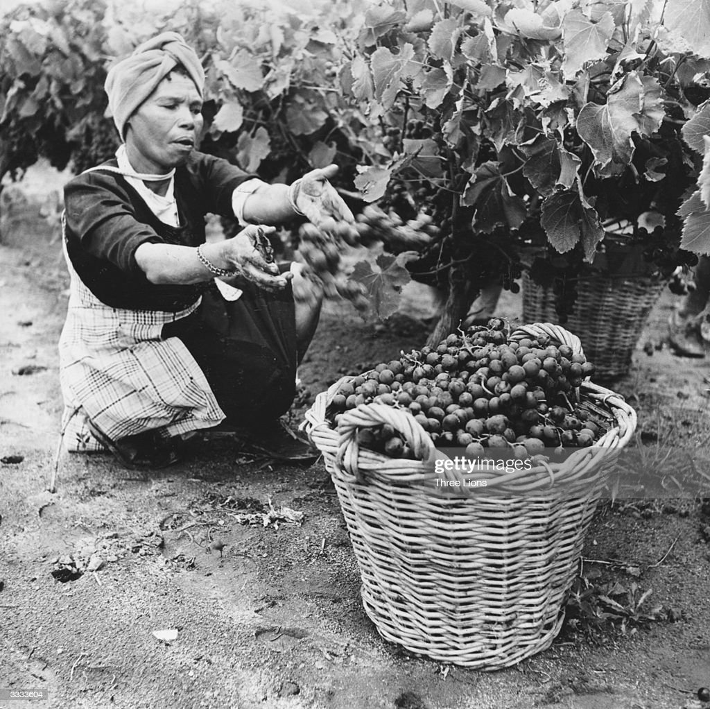 Image result for baskets of grapes south africa