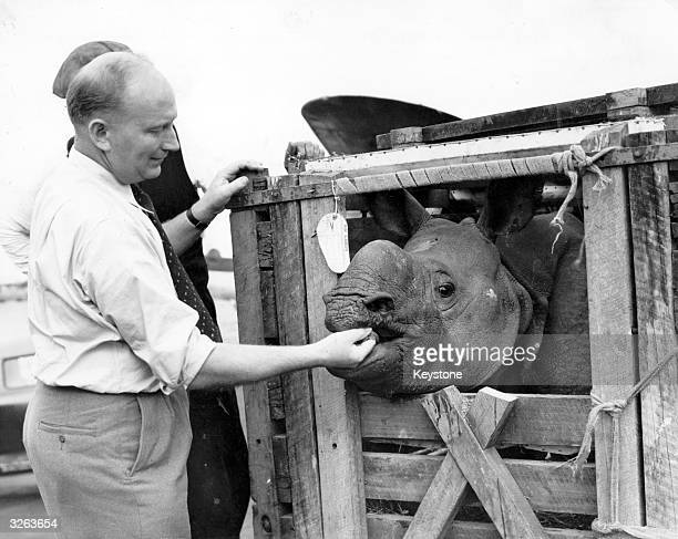 Alec Wilson a keeper at London Zoo feeds molasses to 'Mohini' the three year old rhinoceros who arrived for her new role as 'wife' to 'Mohan'...