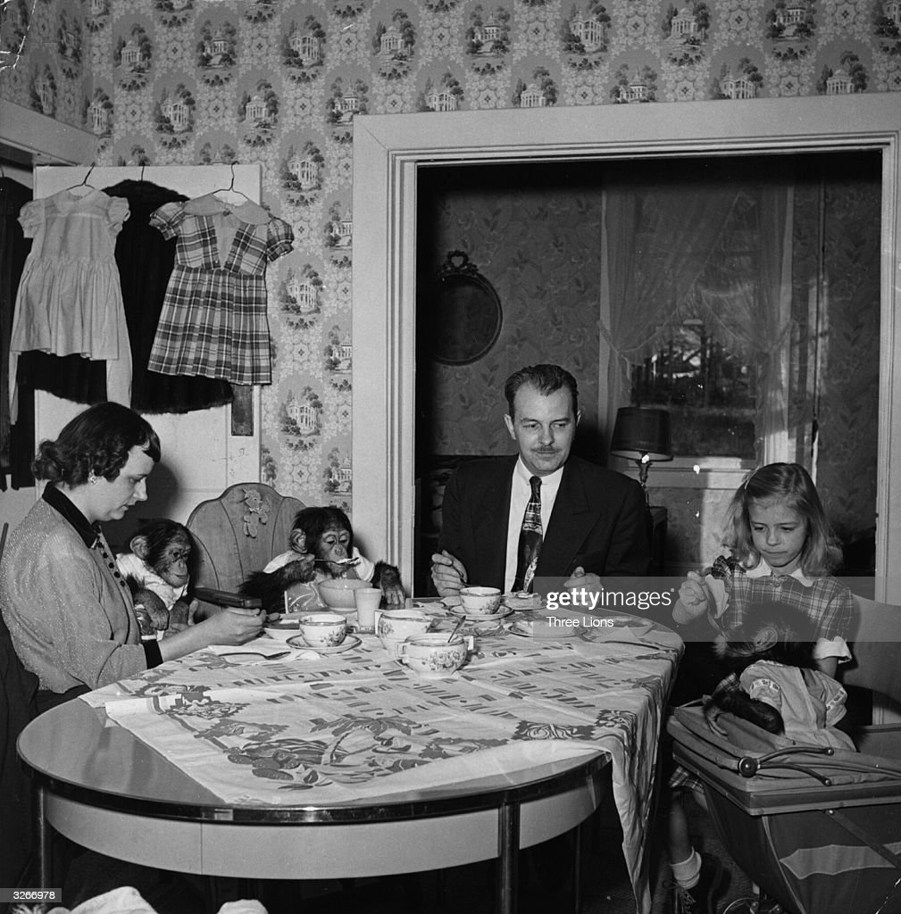 Baltimore Zoo director Arthur Watson and family teach table manners to the three chimps who share their home as part of a drive to acclimatise the animals to people.