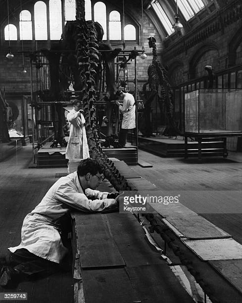 Experts reerecting a Diplodocus dinosaur at the Natural History Museum after it has come out of storage where it was placed during World War II