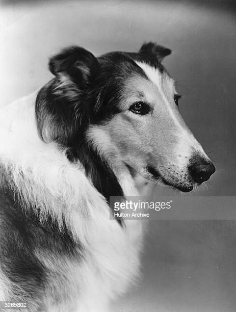 Lassie the 'acting dog' who performed almost like a human in many children's adventure films A number of dogs appeared in the role of Lassie over the...