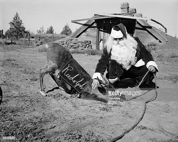 Santa Claus plays with Rudolph on the John Zumstein reindeer farm near Redmond Oregon the largest reindeer farm in America