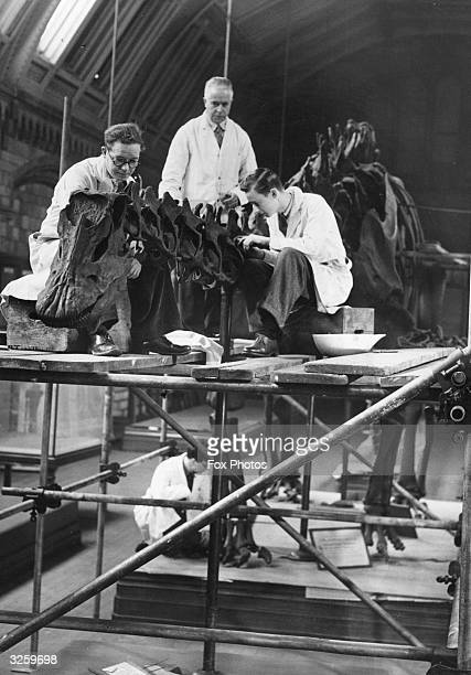 The skeleton of Diplodocus stored for protection during the war being reerected at the Natural History Museum it is the largest known dinosaur or...