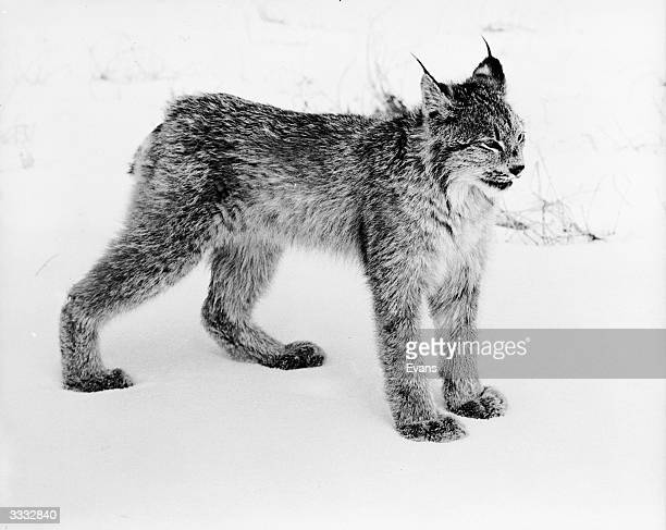 Tonga a pet Lynx in its natural snow covered environment