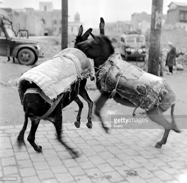 Young donkeys wearing padded jackets are having a rough and tumble in the streets of Aleppo in Syria