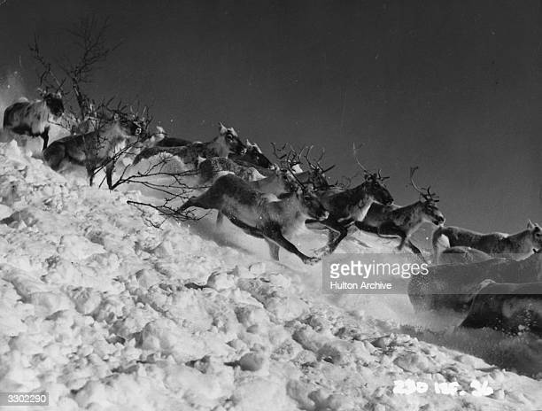 Reindeer stampede down a mountain in a scene from 'Valley of Eagles' the story of a Swedish scientist in Lapland It was directed by Terence Young for...