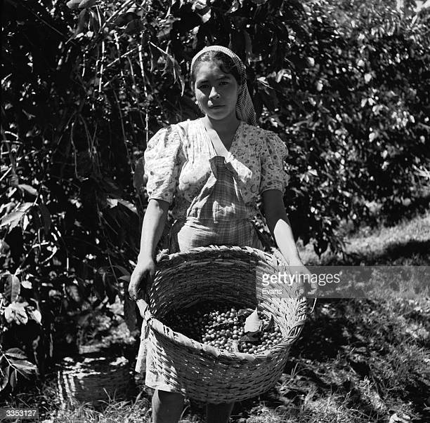 A coffee picker holds a basket of ripe coffee berries that she has picked on a plantation in El Salvador