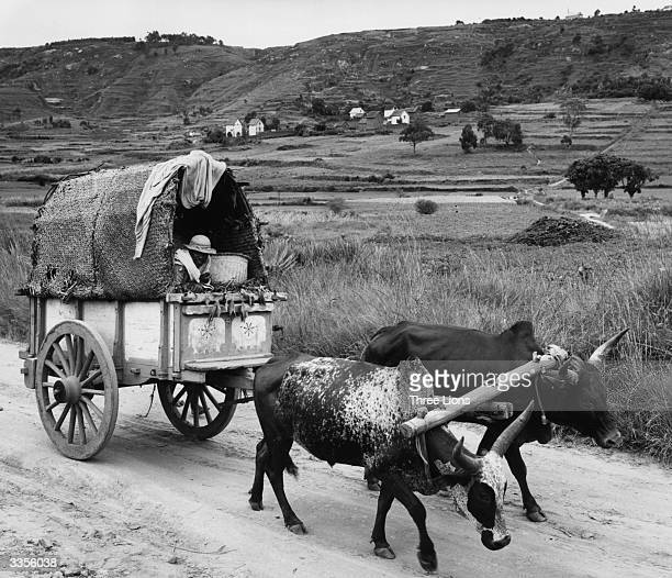 A covered wooden cart being pulled along rural track in Madagascar by two bullocks under a wooden yoke