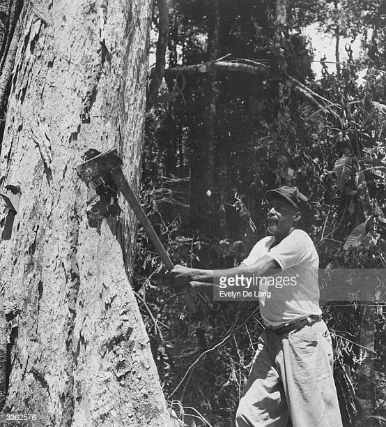 A forester makes a start on chopping down a greenheart tree in a forest in British Guiana