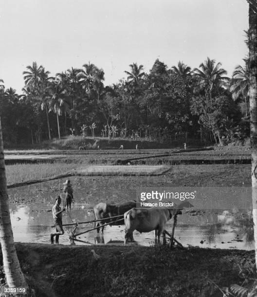 A Javanese farmer ploughs his wet rice field
