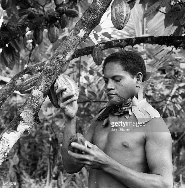 A man picking pods containing cocoa beans from a cacao tree in Western Samoa