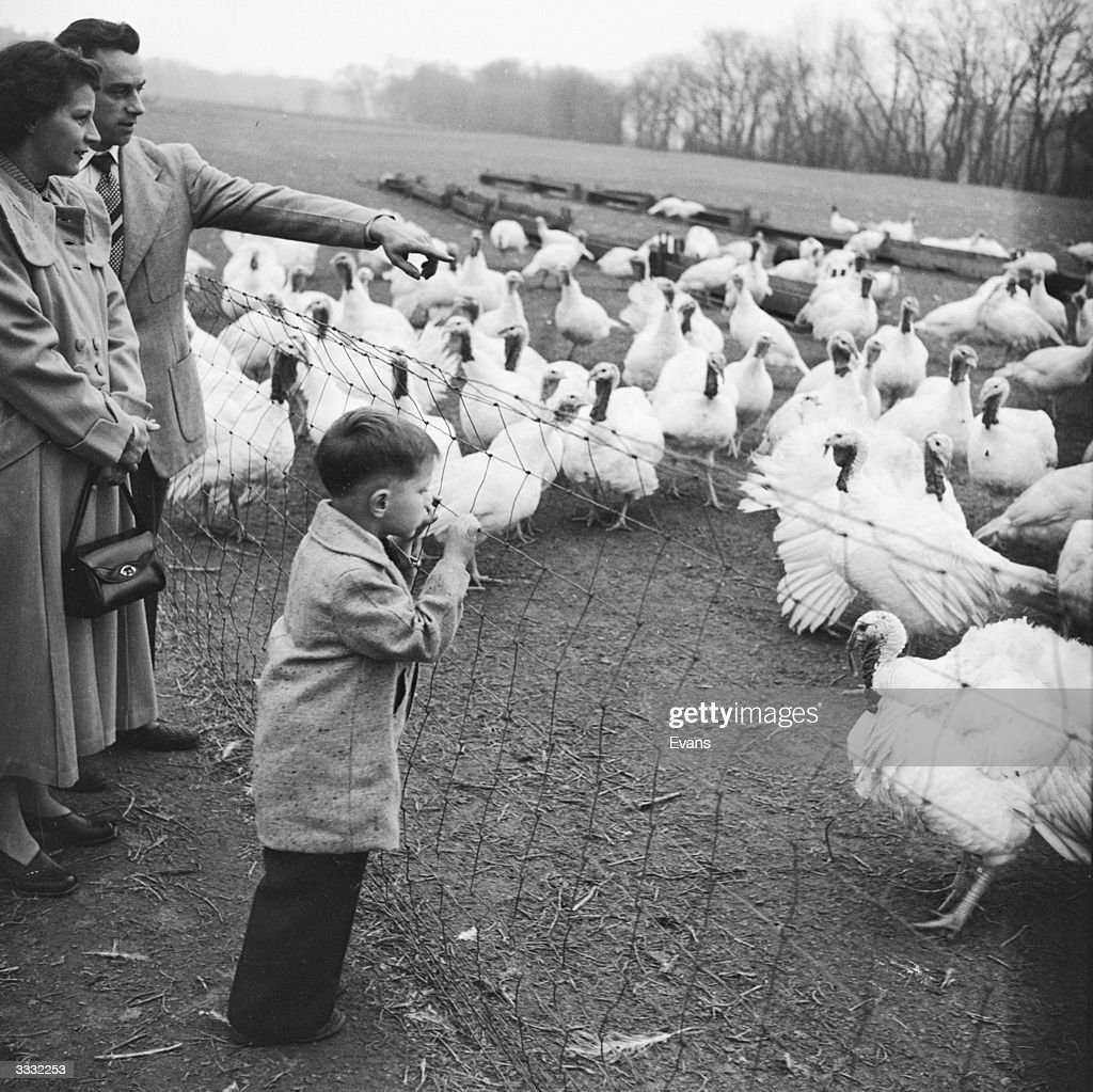 An American family picking out their Christmas turkey from a flock.