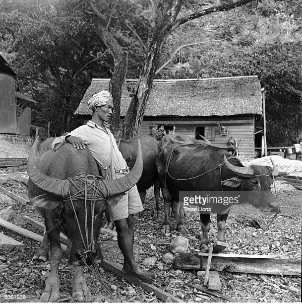 Buffaloes used for pulling heavy logs to the mill in the Indonesian lumber industry on Borneo