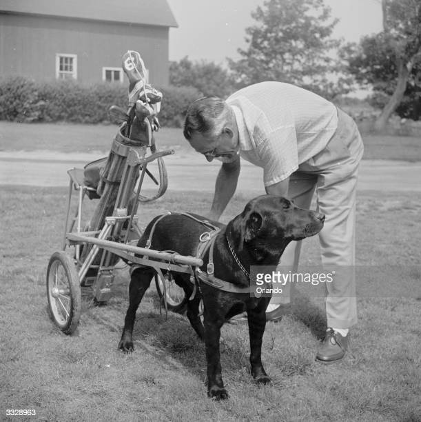'Dracula' is hitched by his owner Bill Beck to a golf caddy on the golf course at Point Judith Country Club Long Island