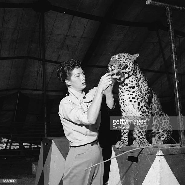 Leopard trainer Charlotte Walsh from Florida places a vulnerable hand in the leopard's jaw