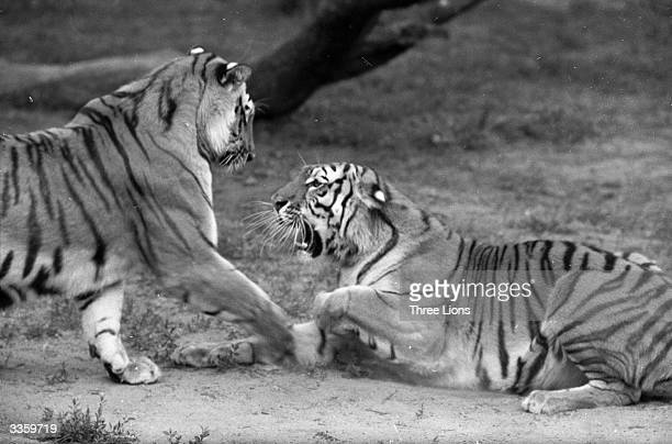 Two Siberian tigers sparring with each other inside their enclosure at Detroit Zoo Michigan