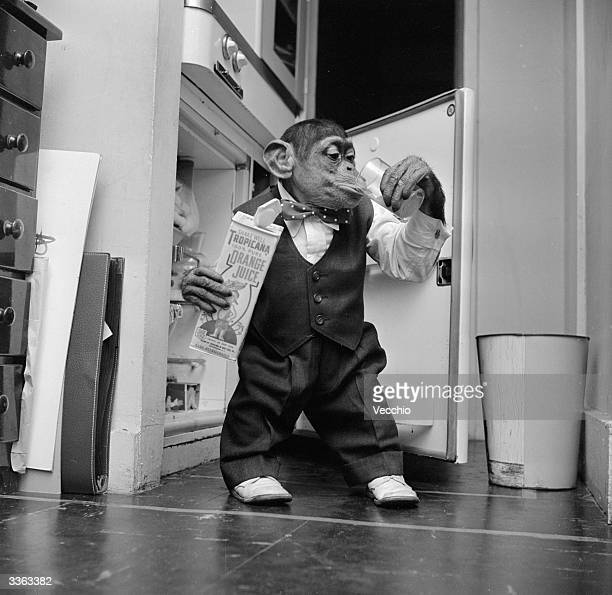 Young chimpanzee Kokomo Jnr quenches his thirst with a glass of orange juice straight from the fridge at his owner's apartment in New York City