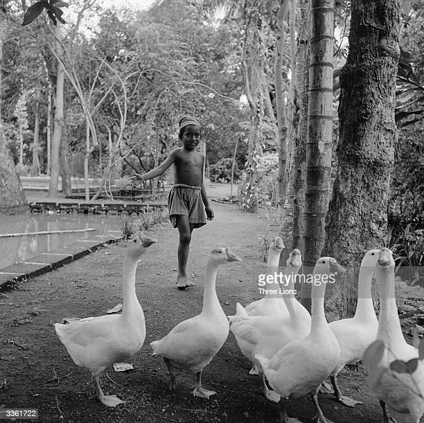 A Balinese boy herding geese