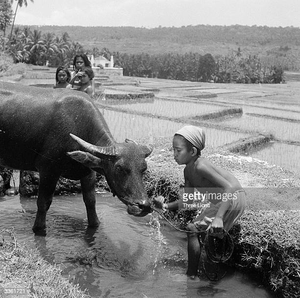 A Balinese boy watering his Buffalo