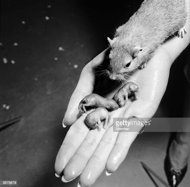 A closeup of a gerbil and its tiny litter of babies held in the palm of a hand These animals are currently undergoing testing with a drug developed...