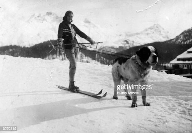 A skier being pulled by a St Bernard dog
