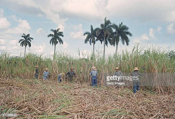 Circa 1960 Workers cut sugar cane stalks in a field under palm trees Cuba