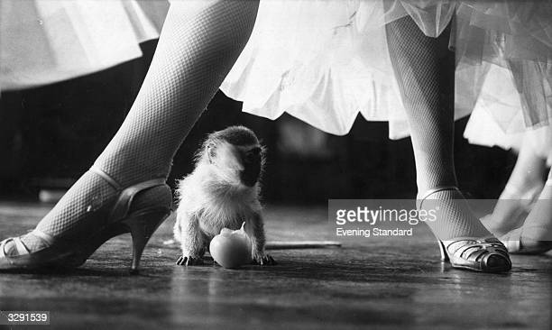The legs and high heels of a member of the cast of 'Tropical Paradise' a revue at the Pigalle tower above a very small baby monkey