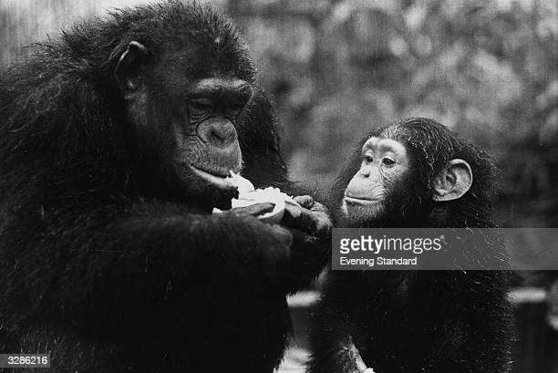 Brenda the chimpanzee eating some cabbage watched by her 2 year old son Freddie