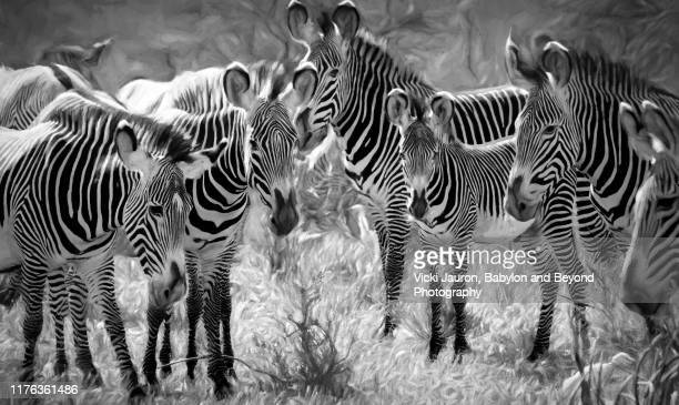 circle of stripes, ears and patterns of grevy zebras in black and white in samburu, kenya - white stripes stock pictures, royalty-free photos & images