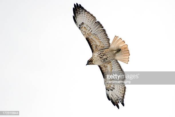 circling red tailed hawk (buteo jamaicensis) - red tailed hawk stock photos and pictures