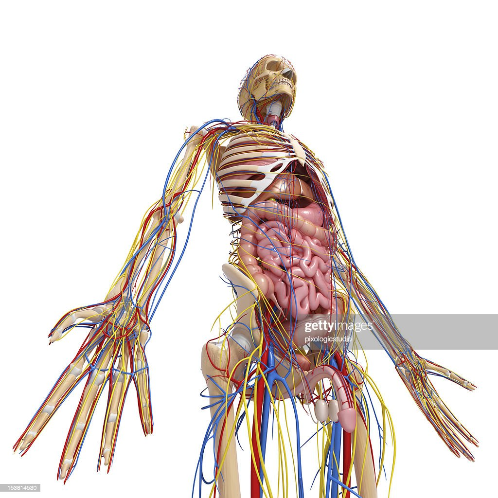 Circulatory System Of Human Body With All Internal Organs Stock