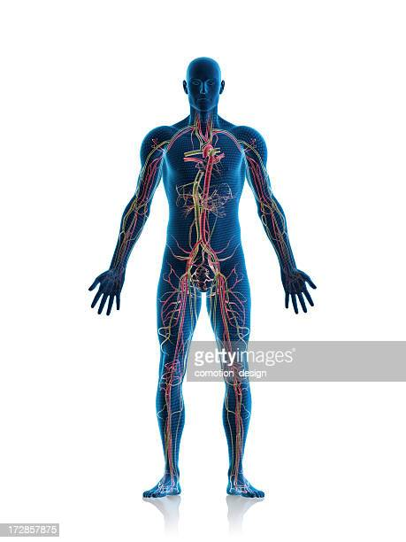 circulatory system - human body part stock pictures, royalty-free photos & images