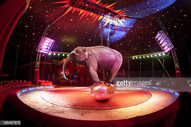 circus elephant - elephant stock pictures, royalty-free photos & images