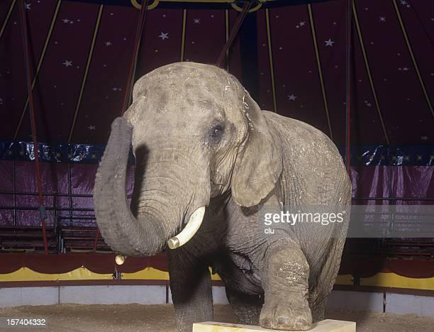 Circus elephant posing