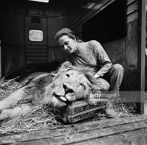 Circus entertaininer Mary Chipperfield with Selassie the lion after the animal was drugged for a wart removal operation at Longleat Safari Park in...