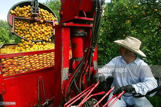 Cirilo Baldaras pours a load of oranges onto his truck as he works in the grove for Sorrells Brothers Packing Co Inc July 13 2006 in Arcadia Florida...