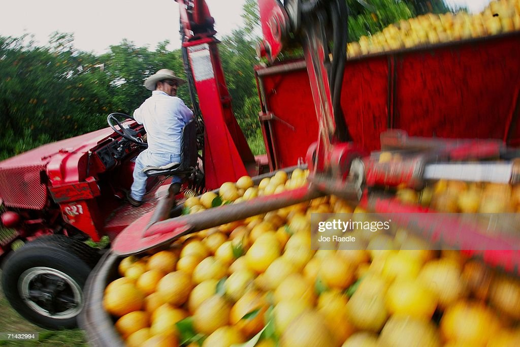 Florida Citrus Production To Be Among Worst In A Decade : News Photo