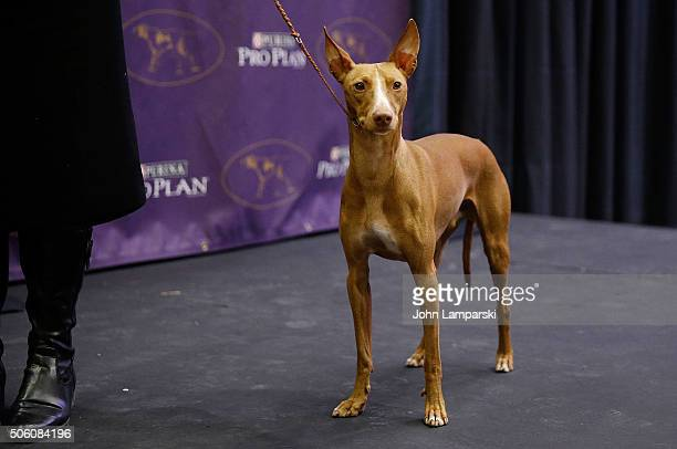 Cirneco dell'Etna breed named Jeter is displayed during the 140th annual Westminster Kennel Club Dog Show meet the new breeds at Madison Square...