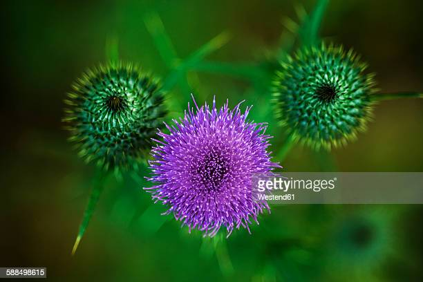 Cirsium Vulgare, close-up