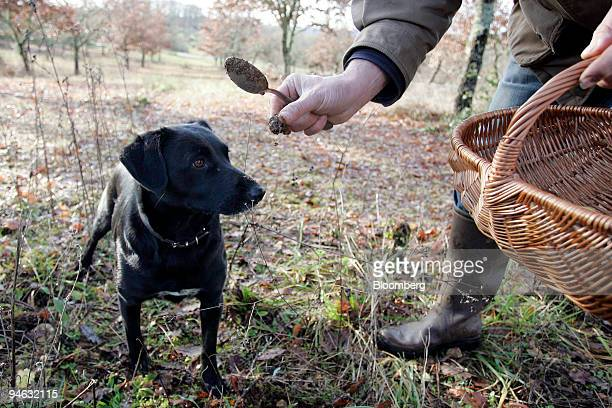 Ciska a trufflehunting dog smells a truffe du Perigord or black truffle from France's Perigord region while hunting for the delicacy in Sorges France...