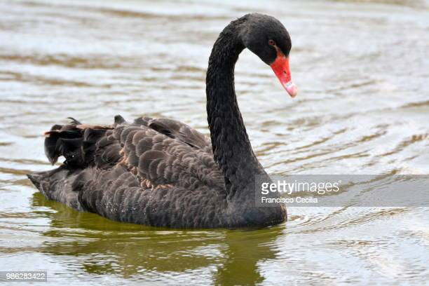cisne negro - コクチョウ ストックフォトと画像
