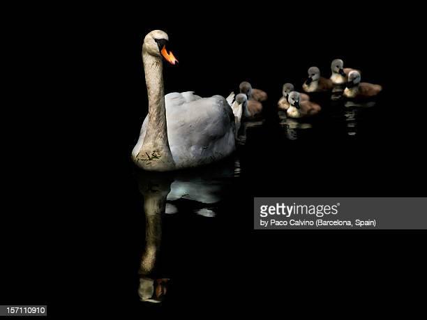 Cisne y crias con reflejos en fondo negro